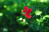 Hibiscus among the green Stock photo [374055] Hibiscus