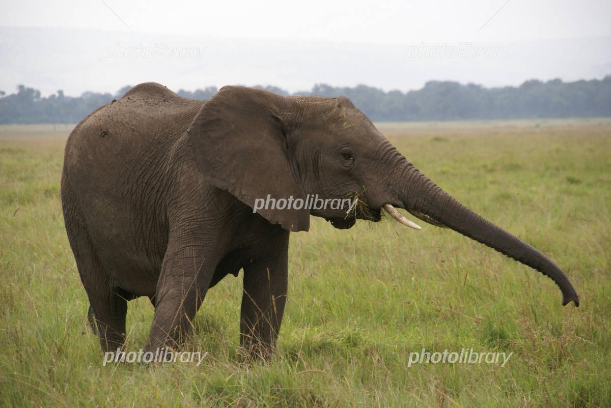 アフリカゾウの画像 p1_19