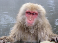 Monkey entering the hot spring Stock photo [376817] Hot