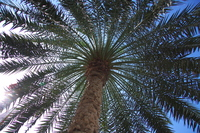 Date palm Stock photo [378103] Date