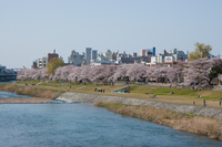 Cherry bloom along the Sai River Stock photo [386304] Sai