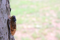 Large brown cicada Stock photo [388946] Large