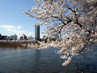 桜2008年