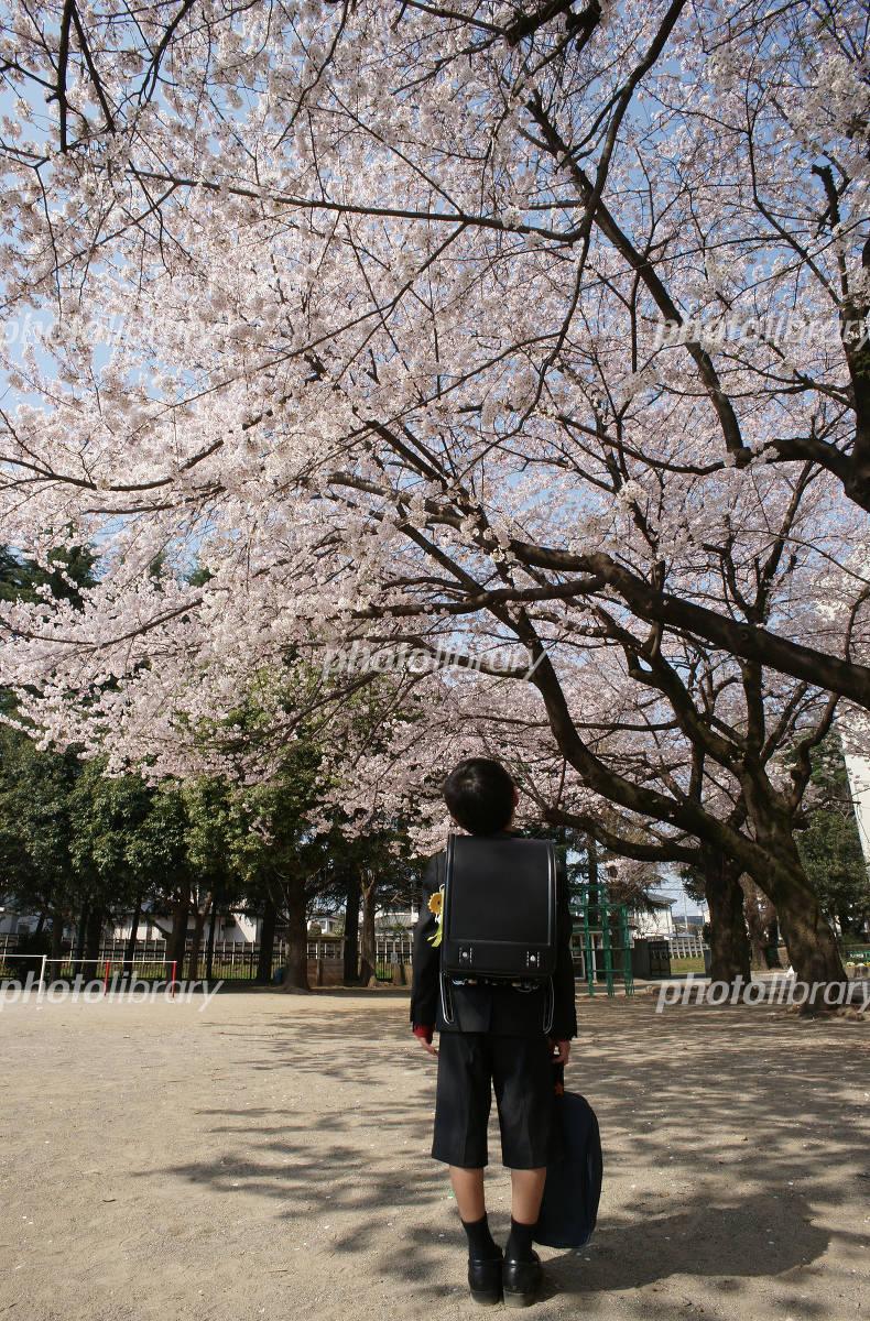 入学式と桜の写真