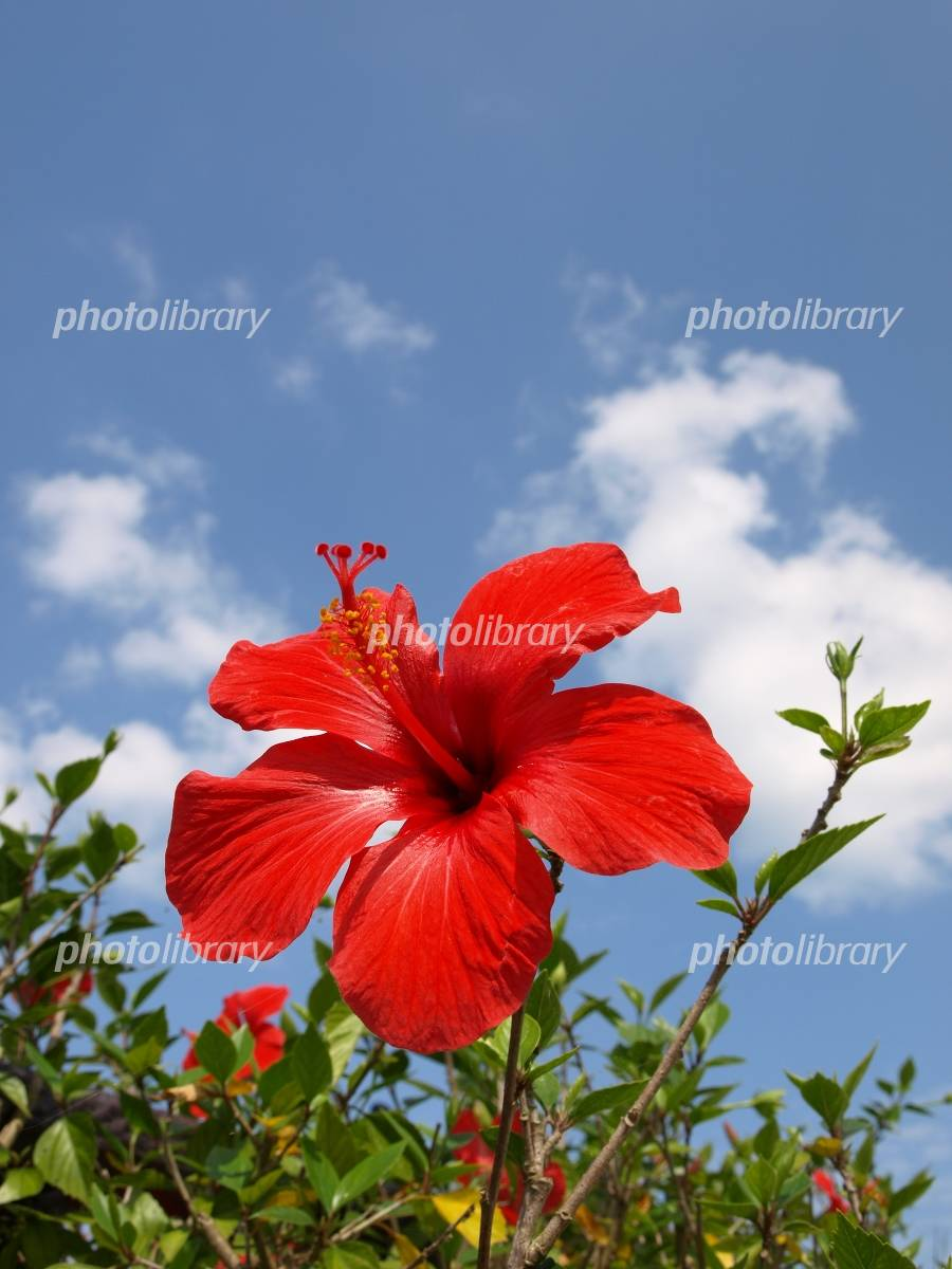 Hibiscus and sky Photo