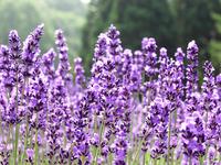 Lavender Stock photo [490700] Lavender