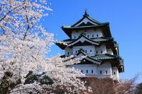 Sakura of Hirosaki Park Stock photo [491556] Cherry