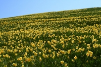 Daffodil field (Biwako Valley) Stock photo [492203] Narcissus