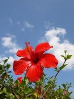 Hibiscus and sky Stock photo [493932] Hibiscus
