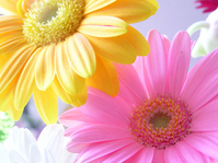 Gerbera Stock photo [494581] Flower