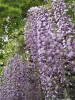 Shirahata shrine of wisteria Stock photo [495428] Rattan