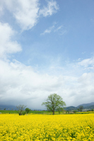 Rape field and a tree Stock photo [495694] One