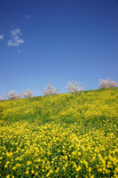 Of dam rape blossoms and cherry trees Stock photo [496862] Cherry