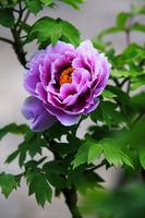 Peony Stock photo [498410] Flower