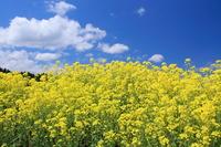 Rape flowers and a blue sky Stock photo [499429] Rape