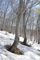 Beech forest in the snow Stock photo [499657] Beech