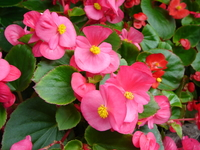 Begonia Stock photo [21018] Begonia