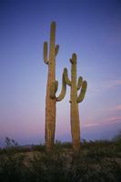 Sunset Cactus Stock photo [22076] America