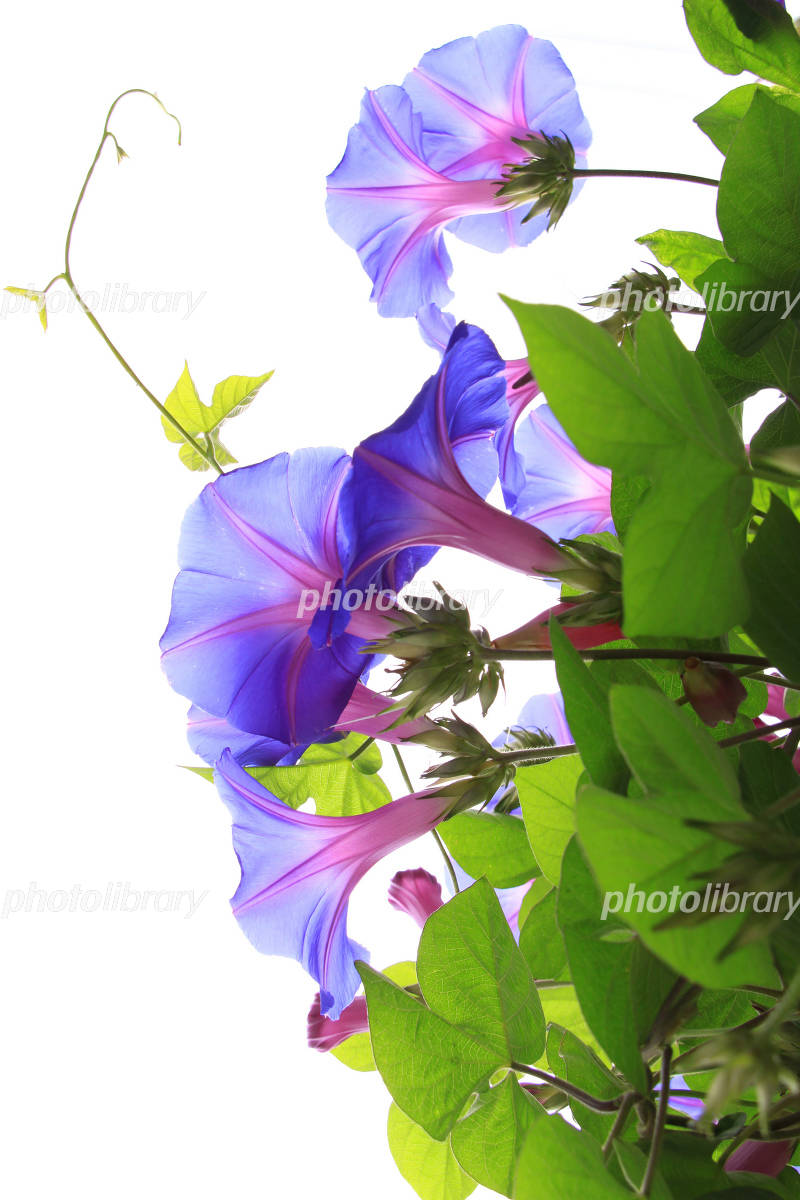 Morning glory purple Photo