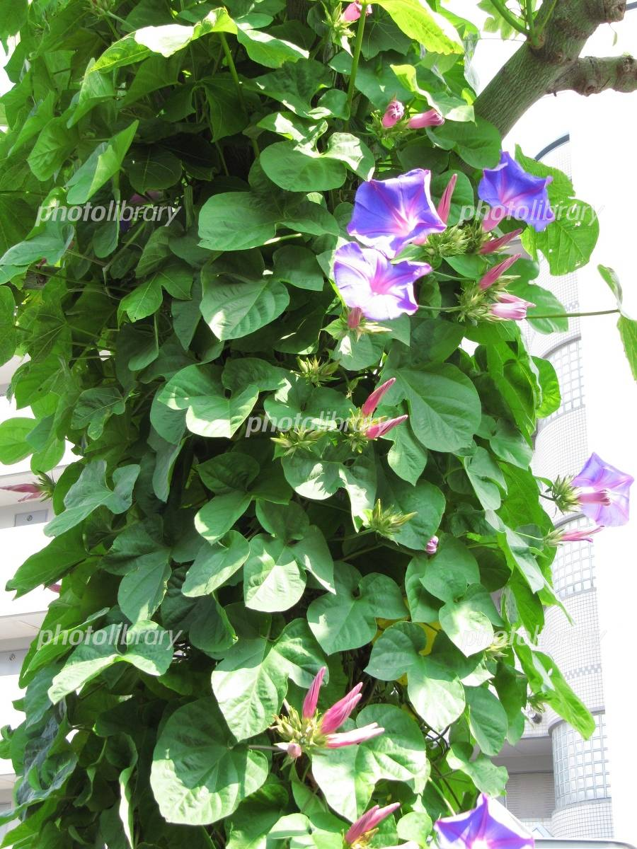Morning glory covering the street trees Photo