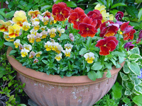 Pansy and Viola potted Stock photo [530475] Pansy