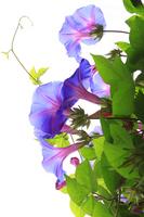 Morning glory purple Stock photo [530772] Morning