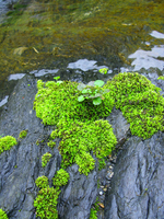 Vivid waterside of moss Stock photo [533986] MOSS.
