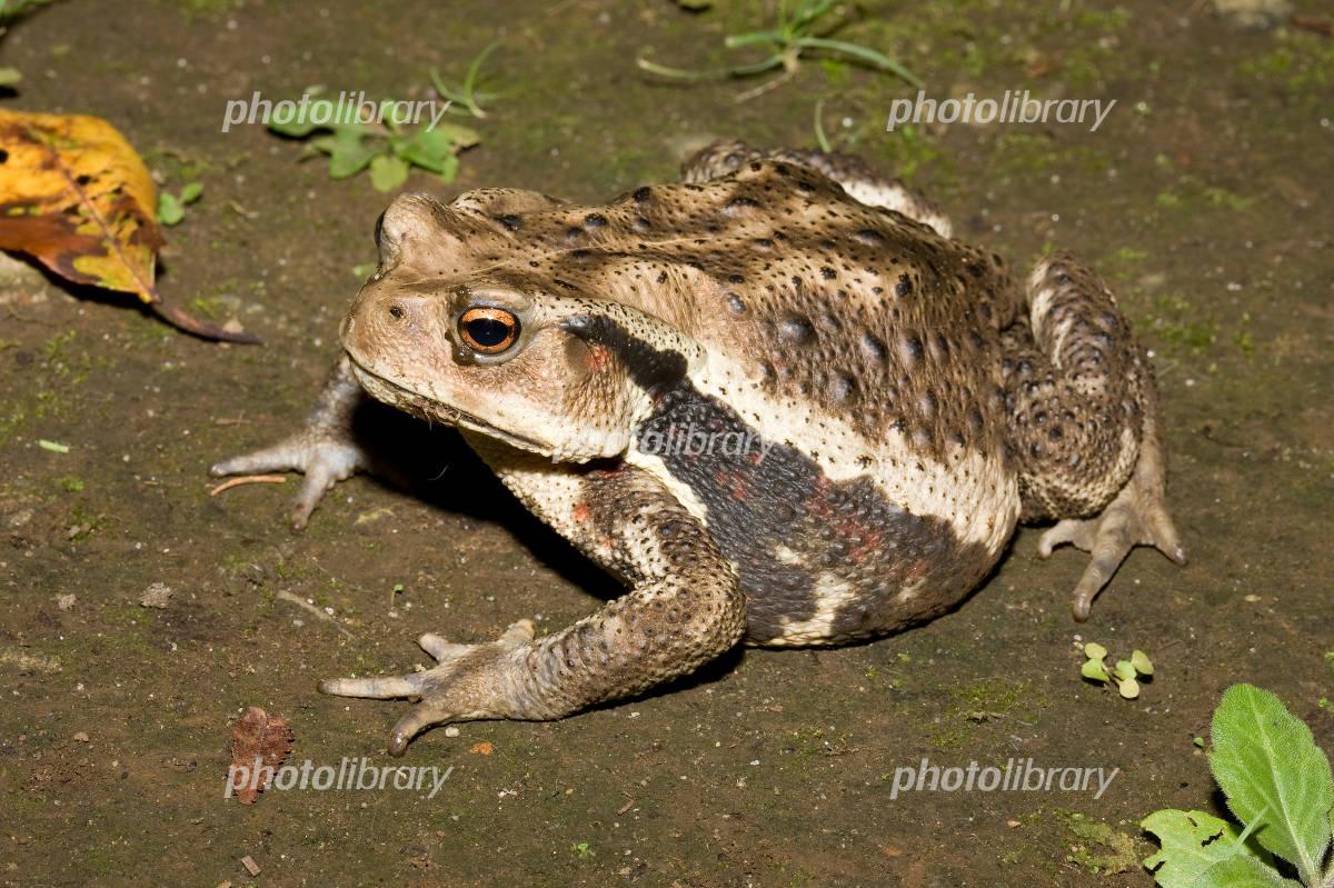 ニホンヒキガエルの画像 p1_4