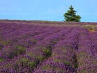 Lavender bloom hill Stock photo [568811] Hokkaido