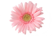 Gerbera Stock photo [570599] Gerbera