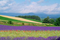 Fields of lavender Stock photo [576621] Fields