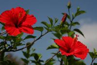 Hibiscus Stock photo [576757] Hibiscus