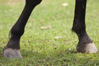 Umanoashi and hoof Stock photo [577557] Horse