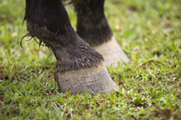 Horse hoof Stock photo [577565] Horse