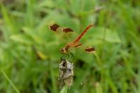Miyama Akane dragonfly Stock photo [578367] Miyamaakane