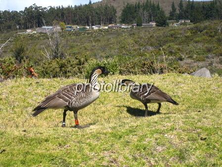 ハワイの州鳥・二羽のネネ