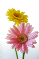 Gerbera Stock photo [639193] Gerbera
