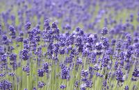 Lavender Stock photo [639245] Lavender