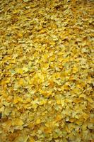 Ginkgo carpet Stock photo [649388] Ginkgo
