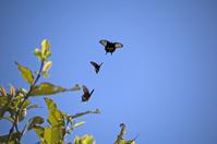 Agehacyou Stock photo [651312] Papilio