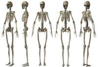 Women's skeleton [651943] Skeleton