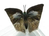 Curetis acuta (female) Stock photo [652303] Curetis