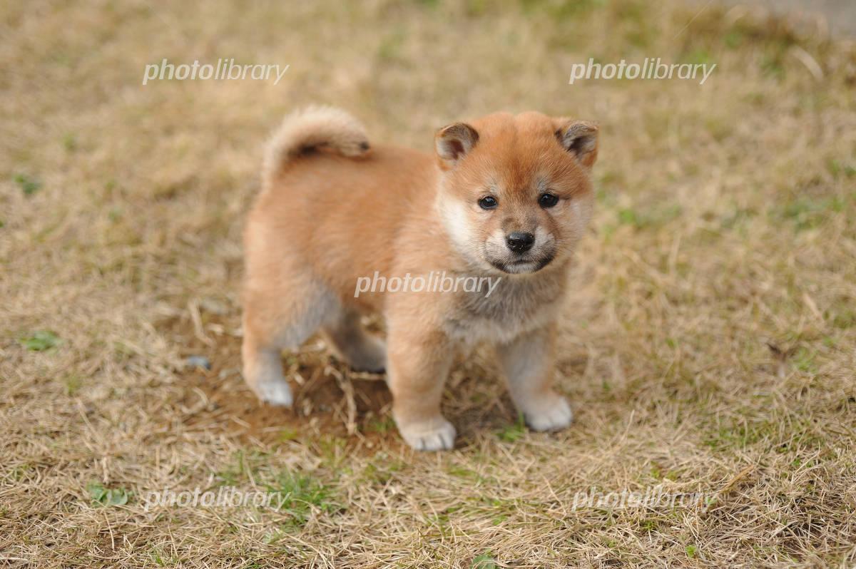 柴犬の子犬 写真素材
