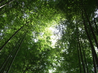 Bamboo forest Stock photo [736219] Bamboo