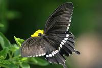 Papilio polytes Stock photo [736886] Papilio