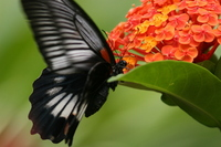 Female 吸蜜 to Papilio memnon Stock photo [737335] Papilio