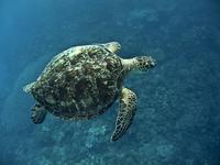 Green Sea Turtle Stock photo [737988] Sea