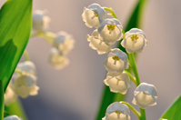 Lily of the Valley Stock photo [738180] Lily