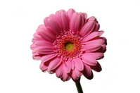Pink gerbera, white back Stock photo [739868] Gerbera