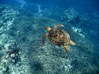 Green Sea Turtle Stock photo [741153] Sea
